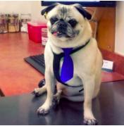 Rosco the Pug
